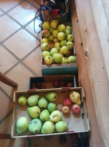 Hundreds of fresh picked apples and pears were all around, being dried, turned into juice, or gobbled up by me.